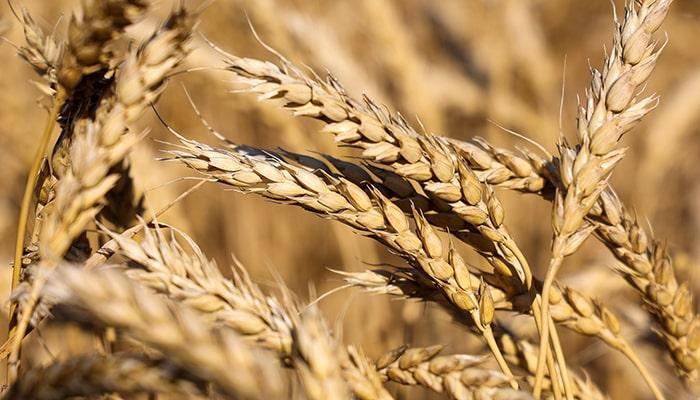 Пшеница достигла новых максимумов на фоне роста мирового аппетита и сокращения предложения